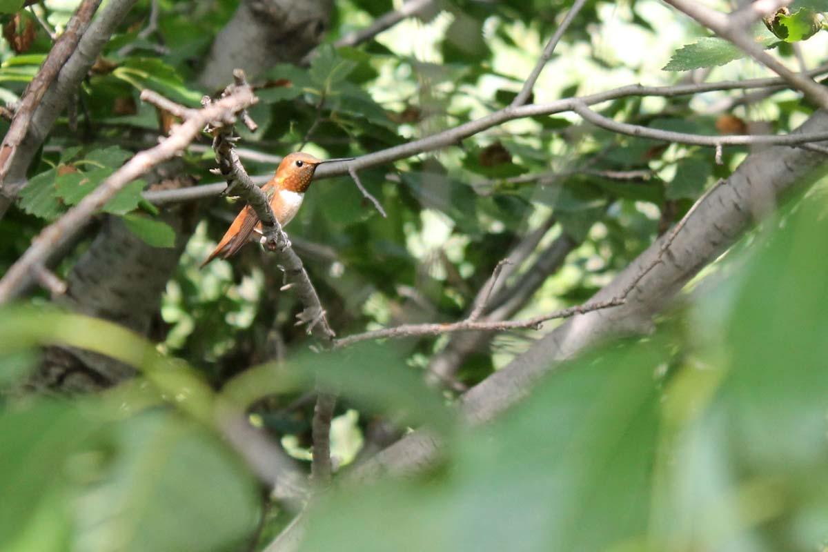 Hummingbird Challenge
