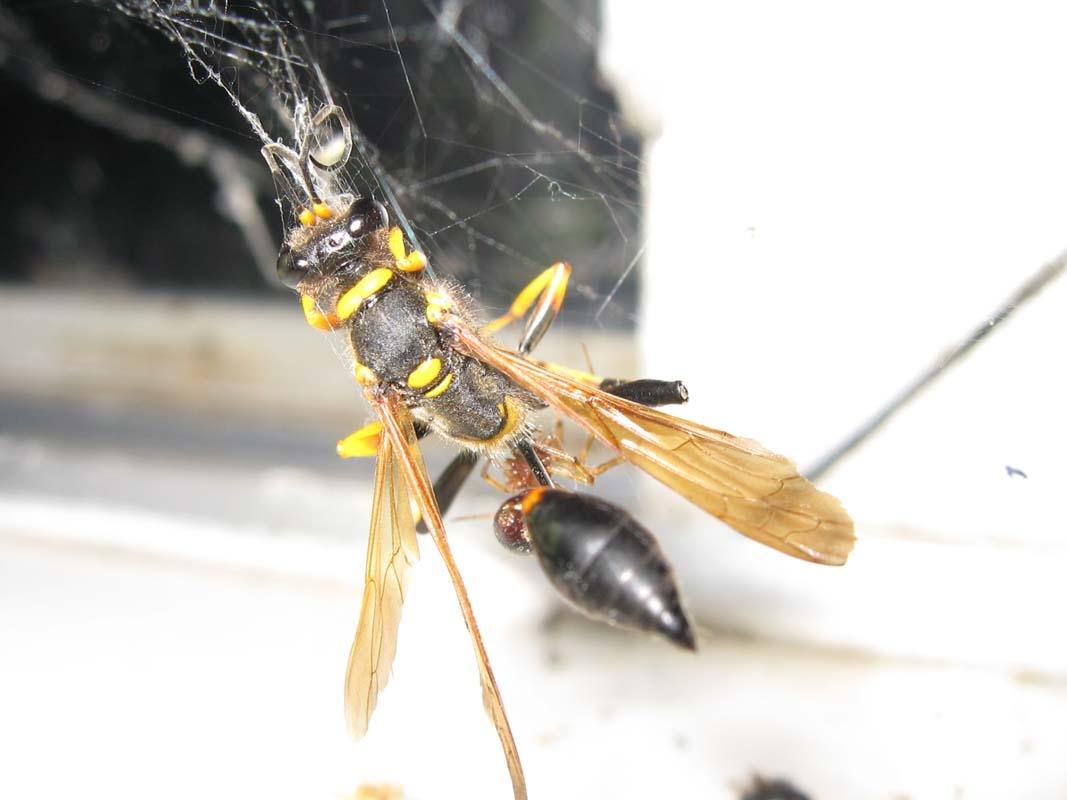 Dead Wasp in Window